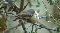 Zebra Finch birds are cuddling on a branch (High Definition) - stock footage