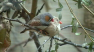 Zebra Finch birds are cuddling on a branch (High Definition) Stock Footage