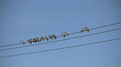 Birds Sitting on a Wire (High Definition) Stock Footage