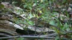 Chipmunk cautiously sits and waits, ready to run  (High Definition) Stock Footage