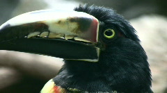 Closeup of a Collared Aracari's watchful eye Stock Footage