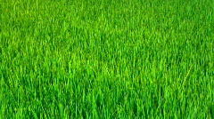 Rice field (clouseup) Stock Footage