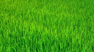 Stock Video Footage of Rice field (clouseup)