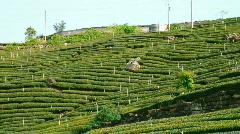 Tea plantation detail (pan)  Stock Footage