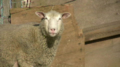 Sheep in the sun Stock Footage