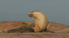 Sea Lion Stock Footage