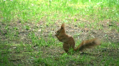 Squirrel eating a nut Stock Footage