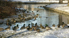 Ducks Walking 03A (High Definition) - stock footage