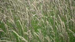 Field of brown grass gently sways in wind (High Definition) Stock Footage