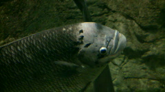 Closeup of Jumbo Gourami swimming through the aquarium (High Definition) Stock Footage