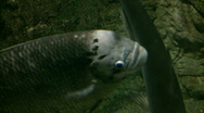 Stock Video Footage of Closeup of Jumbo Gourami swimming through the aquarium (High Definition)