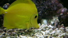 Closeup of a Yellow Tang swimming through aquarium (High Definition) Stock Footage