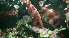 Group of Rockfish are swimming amidst the coral Stock Footage