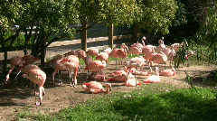 Group of Chilean Flamingos are hanging out on sunny day Stock Footage