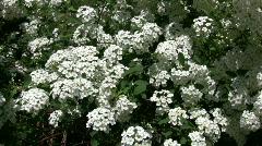 Spiraea Betulifolia Tor flowering bush gently sways Stock Footage