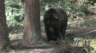 Two Grizzly Bears 1a Stock Footage