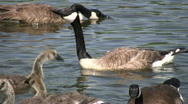 Somme Canada goose are swimming, ready to attack (High Definition) Stock Footage