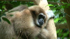 White-Handed Gibbon casually sits in a tree Stock Footage