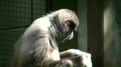 Close-up of White-Handed Gibbon sitting in the sunshine Stock Footage