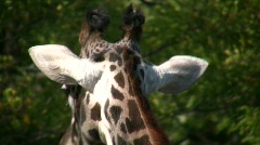 Close-up of a Masai Giraffe as it casually walks around Stock Footage