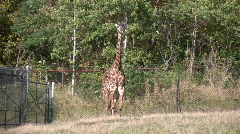 Masai Giraffes casually walks around Stock Footage