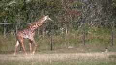 Masai Giraffes is following a goose Stock Footage