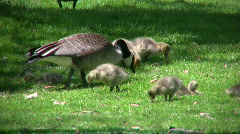 Family of geese goslings are eating in field (High Definition) Stock Footage