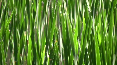 Tall blades of grass gently sway in wind (High Definition) - stock footage