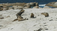 Female Sea Lions Fighting Stock Footage