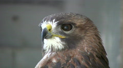 Closeup of Red-Tailed Hawk as he looks around (High Definition) - stock footage