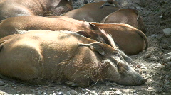 Family of Red River Hogs are sleeping in the sunlight Stock Footage