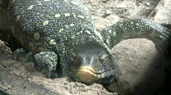 Ornate Nile Monitor is relaxing on some rocks - stock footage