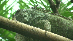 Iguana is lazily resting on a log (High Definition) Stock Footage