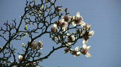 Flowering magnolia tree is gently swaying in wind (High Definition) Stock Footage