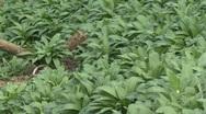 Carpet of wild garlic Stock Footage