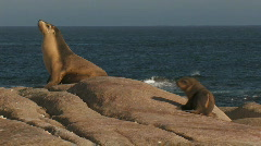 Sea Lion and Pup - stock footage