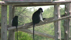 Angolan Colobus monkeys keep cool in the shade (High Definition) Stock Footage
