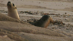 Sea Lion Mother and Pup Stock Footage