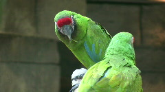 Two Military Macaw parrots are playfully nibbling each others beaks Stock Footage