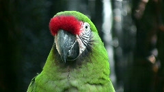 Closeup of a Military Macaw parrot - stock footage