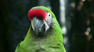 Stock Video Footage of Closeup of a Military Macaw parrot