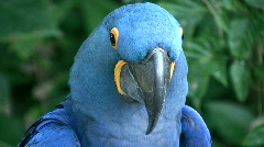 Stock Video Footage of Closeup of a Hyacinth Macaw parrot