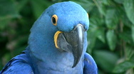 Closeup of a Hyacinth Macaw parrot Stock Footage