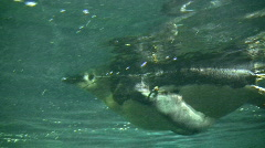 Closeup of a Gentoo Penguin swimming through the water Stock Footage