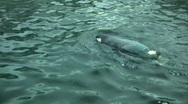 Closeup of a Gentoo Penguin swimming in the water Stock Footage