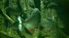 Stock Video Footage of Piranhas rests quietly in the dark water