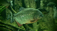 Piranhas rests quietly in the dark water Stock Footage