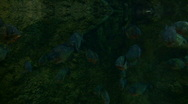 School of Piranhas are swimming through the dark water Stock Footage