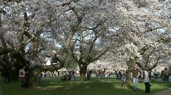 Cherry Blossoms University of Washington Stock Footage