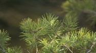 Pine tree  Stock Footage